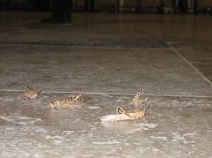 Locusts at the Kotel